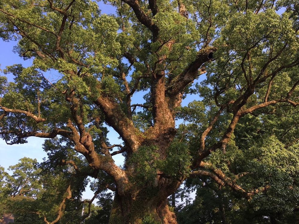 蒲生の大楠